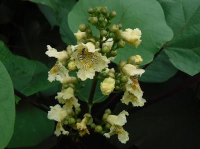 キササゲの白っぽい花