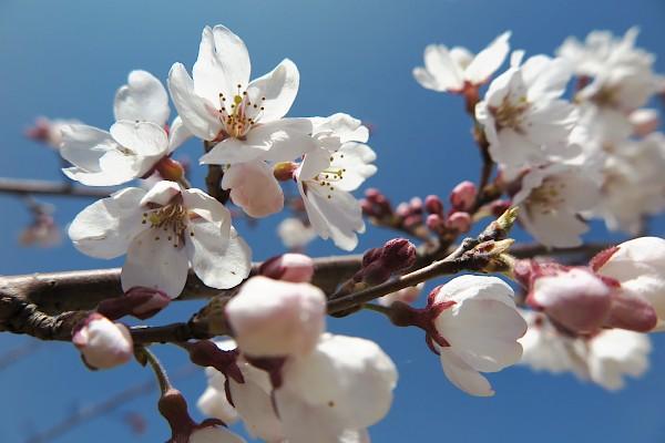 2020.桜