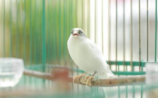 Suara Burung Kenari Gacor