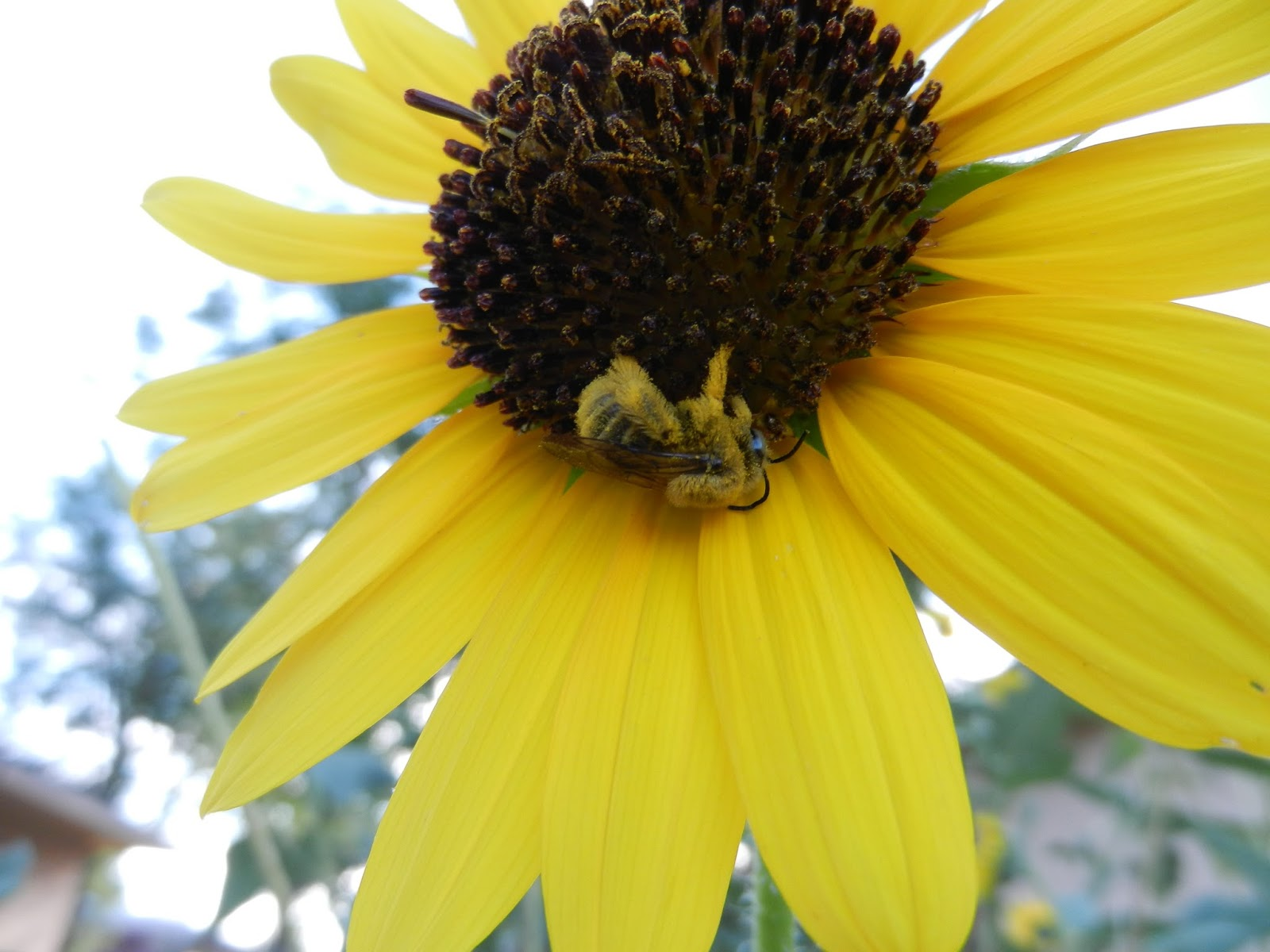 bumble bee sunflower pic