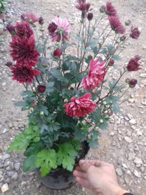 Ảnh hoa cúc sơn la
