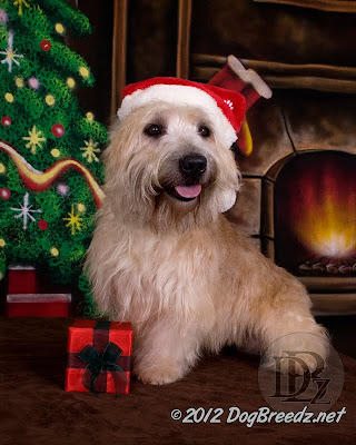 Reilly the Glen of Imaal Terrier enjoys playing Santa Paws on this year's Christmas set for pet photography