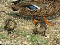 Hawaiian duck-mallard ducklings with hen, Ala Moana Park, Oahu - © Denise Motard