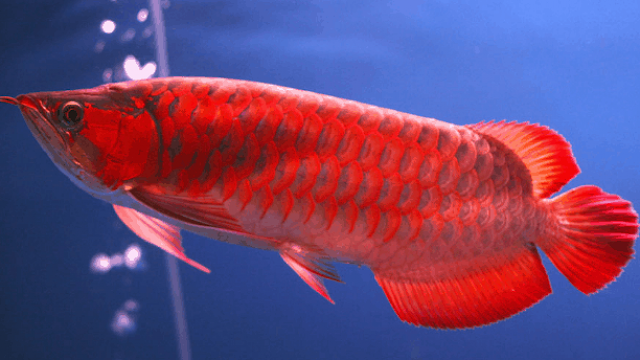 Cari Info Supplier Jual Bibit Ikan Arwana Wonogiri Unggul