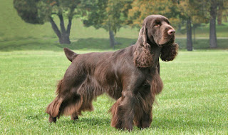 Everything about your Field Spaniel