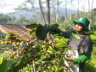 petani kopi,kopi petani,kondisi petani kopi,petani kopi,petani kopi dan tengkulak,petani kopi Indonesia,petani kopi purwakarta