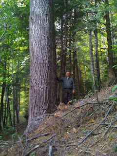 Dr Lee Frelich at a Massachusetts White Pine
