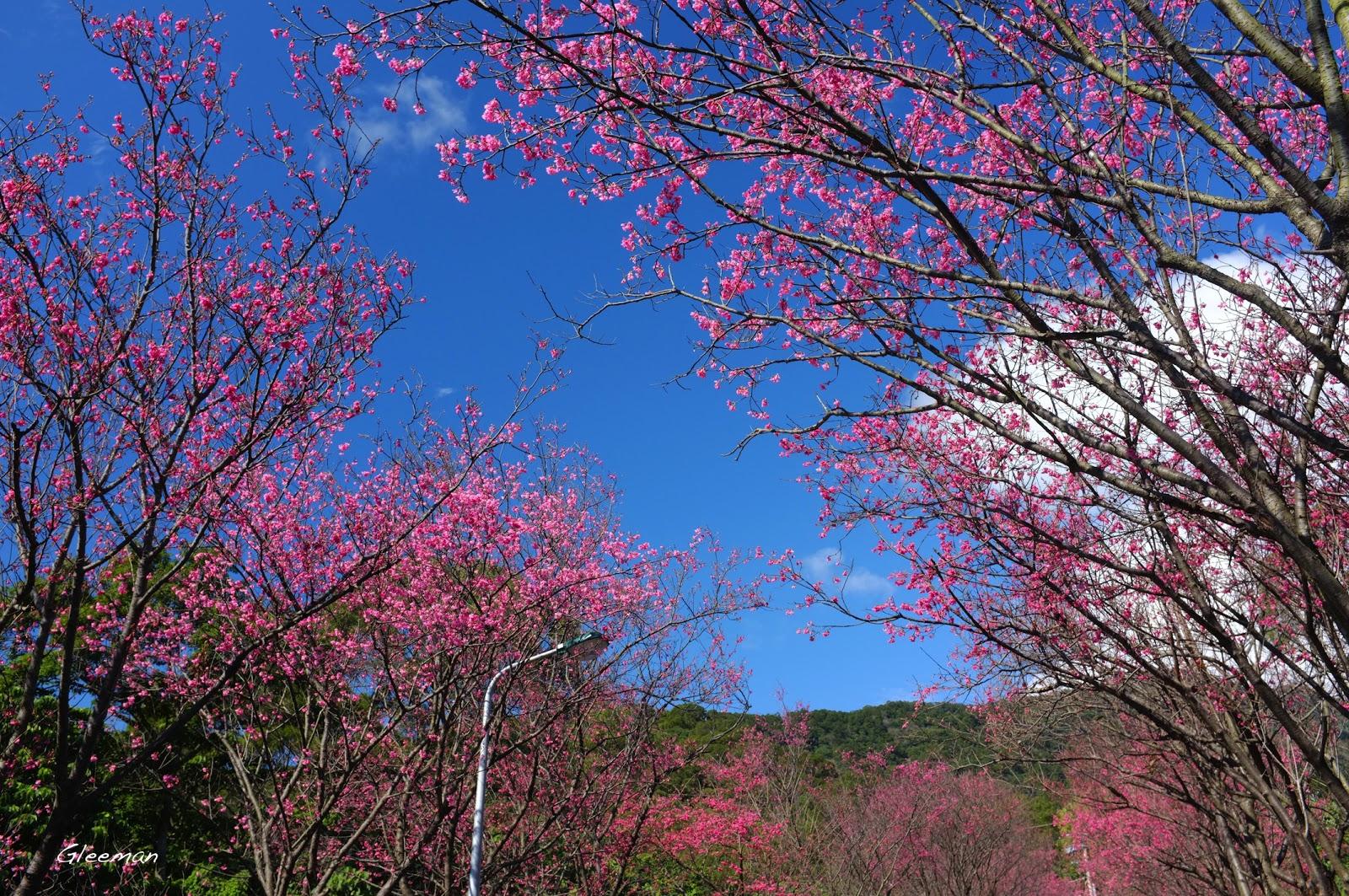人間的詩學 Poetics in Life : 陽明山櫻花 - 新北投櫻花隧道