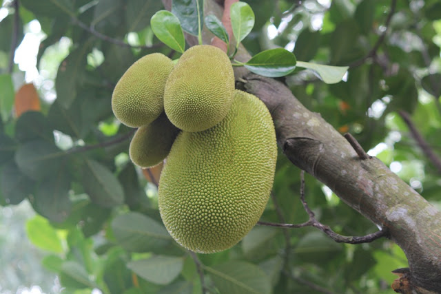 Amazing Facts About Jackfruit In Hindi