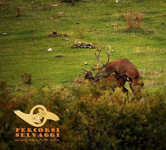 accoppiamento del cervo