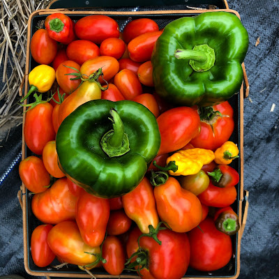 harvest basket almost completely full of tomatoes, with two green peppers and some small yellow peppers on top