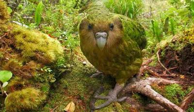 Burung lucu kakapo