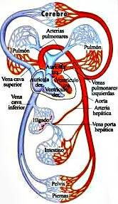 Estructura del sistema cardio-vascula