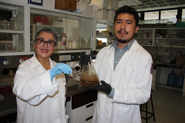 Estudia IPN compuestos del gordolobo que reducen el hígado graso no alcohólico