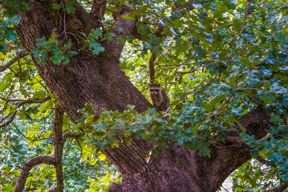 raccoon kit in oak tree