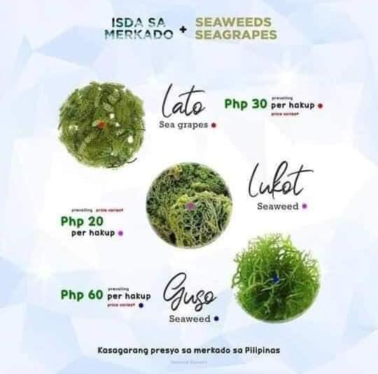 Seaweeds / Seagrapes - Lato, Lukot, Guso