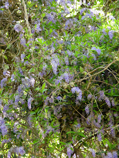 Queen's Wreath in tree