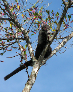 pizote in tree