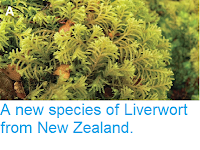 https://sciencythoughts.blogspot.com/2014/08/a-new-species-of-liverwort-from-new.html