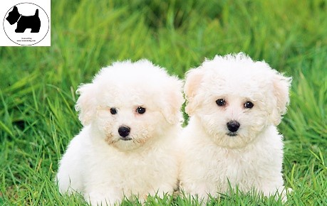 Cutest Dog Breeds, Best Dog, Bichon Frise Dog puppies
