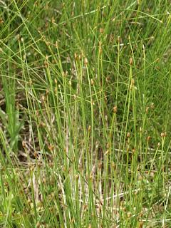 Scirpe cespiteux - Trichophorum caespitosum - Scirpus cespitosus