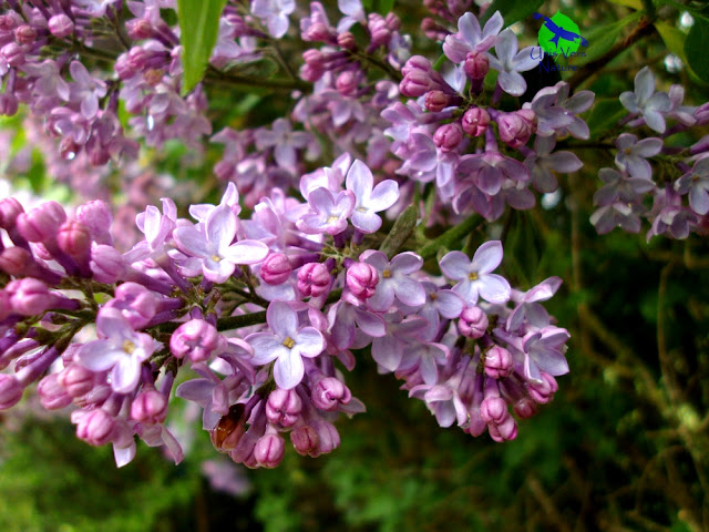 Gelée lilas - unis vers nature - stages plantes sauvages