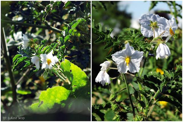 kwiaty psianki stuliszolistnej