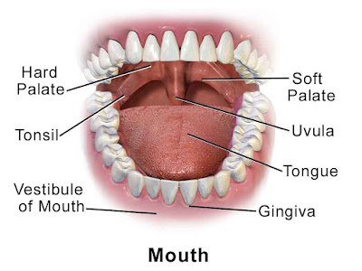 Teeth Diagram of Human