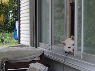 家の中から番犬をしている白柴チロ