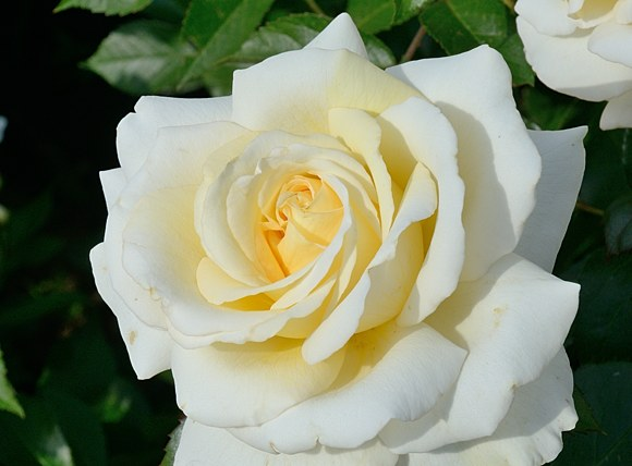 Ambiente сорт розы фото купить саженцы в питомнике Минск отзывы