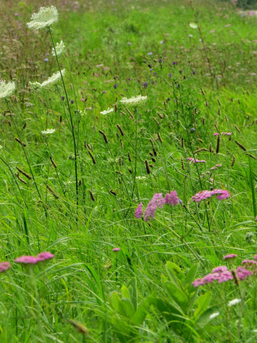 yarrow and queen anne's lace