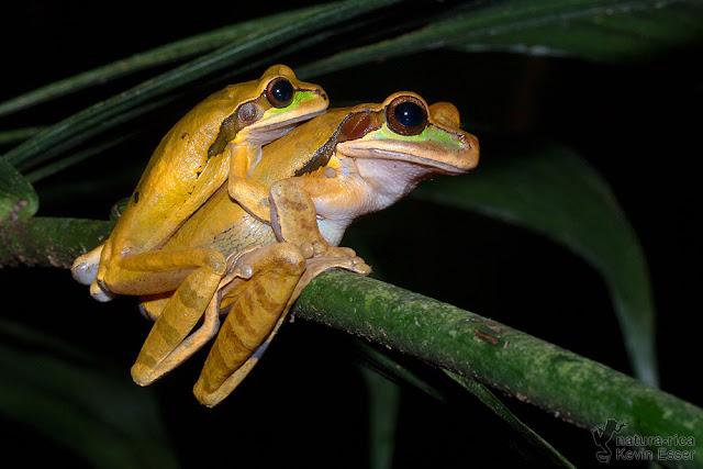 Smilisca phaeota - Masked Tree Frog