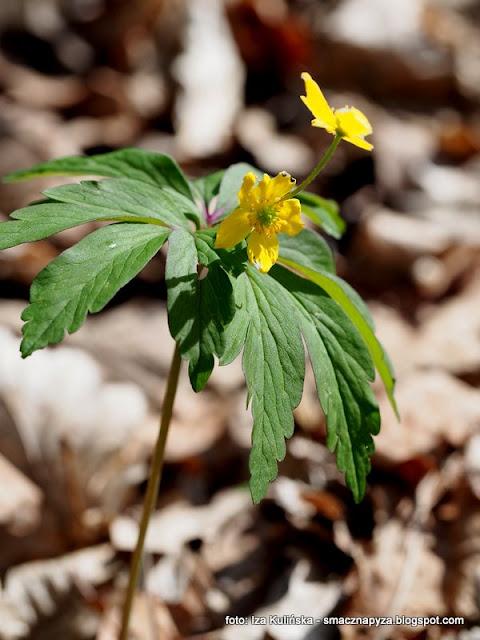 zawilce, żółte kwiatki, kwiaty wiosenne, wiosna, las