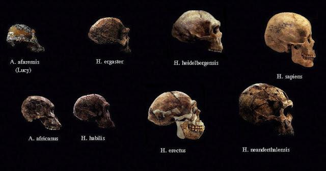 بعض الجماجم المكتشفة لأشباه الانسان