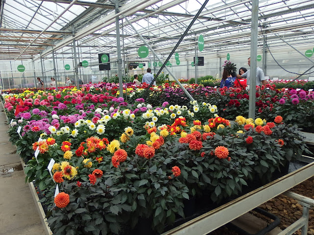 The dahlia section in one of the greenhouses