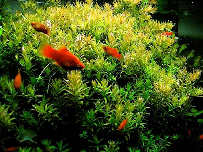 Ikan Platty