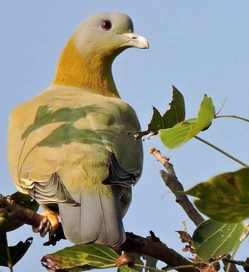 Yellow-footed green pigeon - Treron phoenicopterus