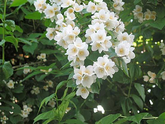 Piante e fiori filadelfo philadelphus o fiore degli angeli for Fiori piccoli bianchi