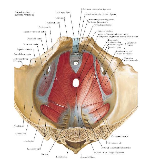 Pelvic Diaphragm: Male