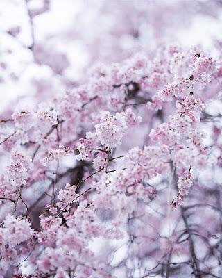 Różowa Japonia