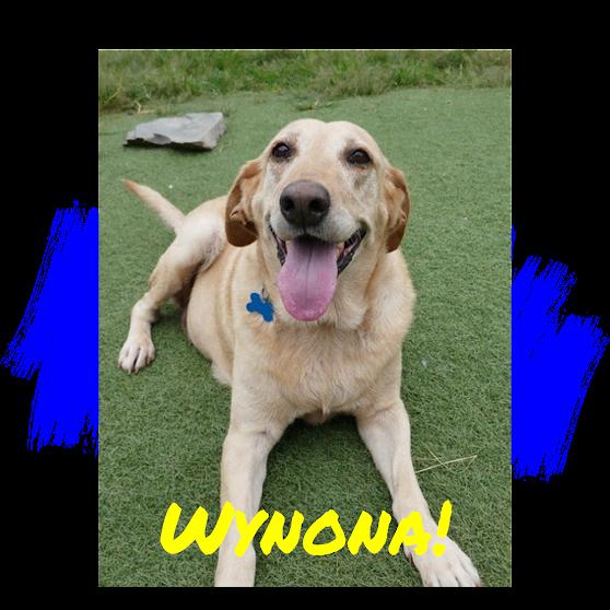 Yellow Labrador Retriever Dog Adoption