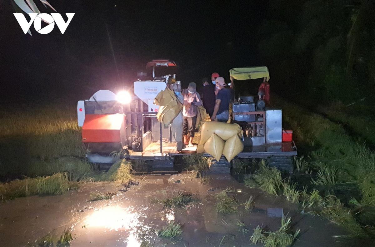 Lo ngập lụt người dân vùng ngọt huyện Trần Văn Thời gặt lúa ban đêm.
