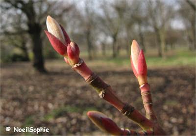 Bourgeon Acer x conspicuum