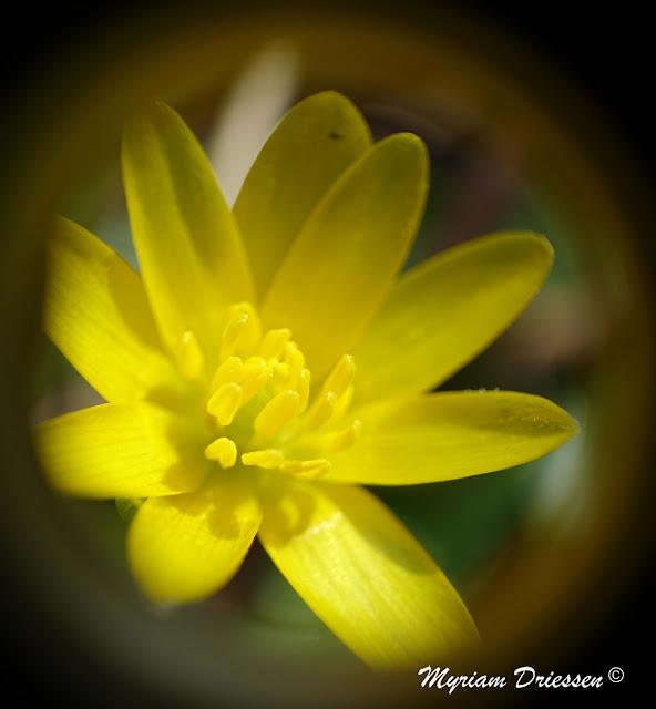 fleur de ficaria Montagne Noire Tarn