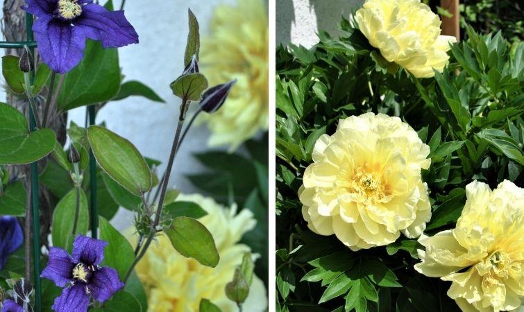 Gelb und Lila Päonien Begleitpflanze