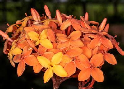 ต้นเข็มทอง เข็มพื้นเมืองของไทย สรรพคุณ