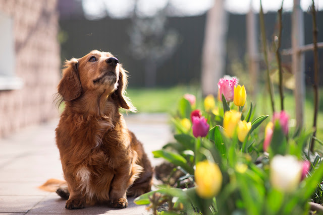 What we can learn about dogs from nursery rhymes. Photo of a hopeful little dog by the tulips in the sunshine in the garden