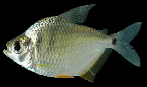 Peixe Pataca ou Pataquinha (Tetragonopterus argenteus)