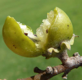 Fruit of Jackalberry tree
