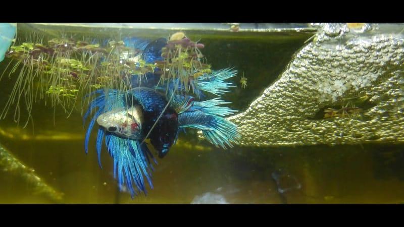 ciri ciri ikan cupang berjodoh